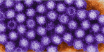 Norovirus virions or virus particles